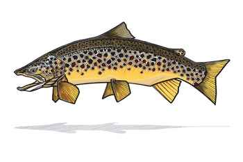 Brown Trout Prints - Casey Underwood