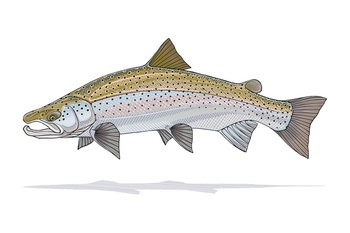 Atlantic Salmon Prints - Casey Underwood